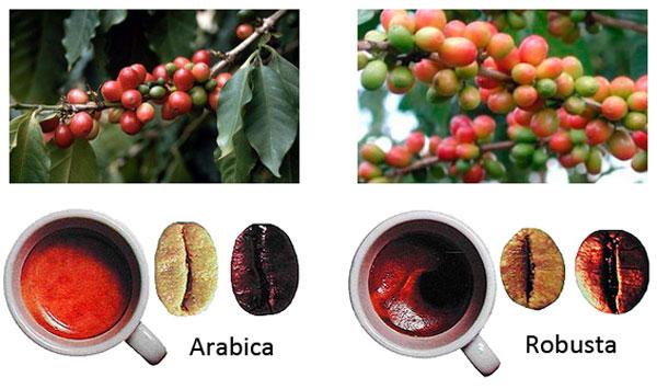 напиток из семян кофейного дерева